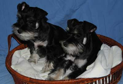 Two Miniature Schnauzer Puppies