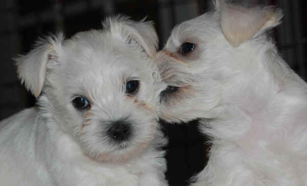 Two cute White Miniature Schnauzer Puppies